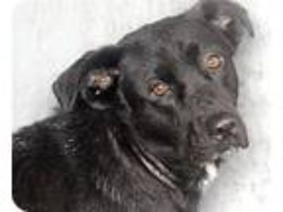 Adopt Tori a Black - with White Labrador Retriever / Border Collie / Mixed dog