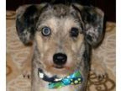 Adopt Sprocket a Black - with Gray or Silver Australian Shepherd / Terrier