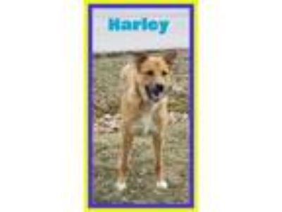 Adopt Harley a Husky, Great Pyrenees
