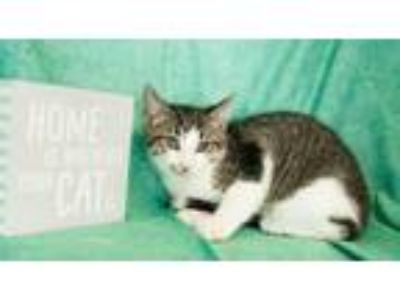 Adopt Seinfeld a Domestic Short Hair, Extra-Toes Cat / Hemingway Polydactyl