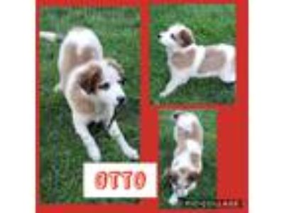 Adopt Otto a Brown/Chocolate - with Tan Australian Shepherd / Great Pyrenees /