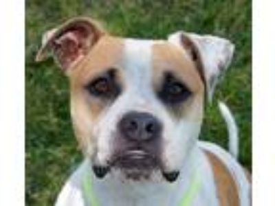 Adopt Meadow a American Pit Bull Terrier / Mixed dog in Oakland, CA (25355659)