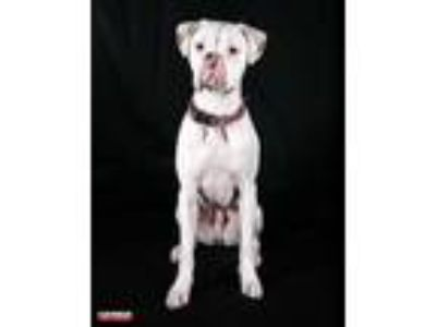Adopt Casper a White Boxer / Mixed dog in Central & West Florida, FL (25319762)