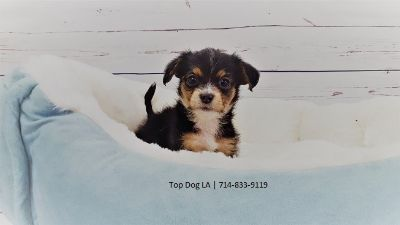 Maltese-Jack Russell Terrier Mix PUPPY FOR SALE ADN-48170 - Maltese Jack Russell Terrier Male 6 pack