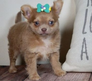hbvvv Chihuahua Puppies For Sale