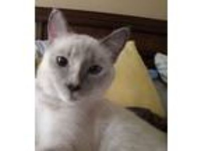 Adopt Blue Ivy a Tan or Fawn (Mostly) Siamese cat in North Myrtle Beach
