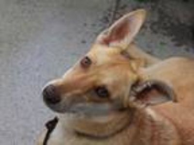 Adopt HARPER a Tan/Yellow/Fawn - with White German Shepherd Dog / Mixed dog in