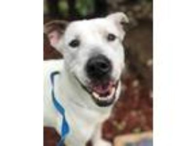 Adopt Johnny a White Hound (Unknown Type) / American Pit Bull Terrier / Mixed