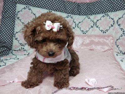 True Top Quality Toy Poodle Prince & Princess