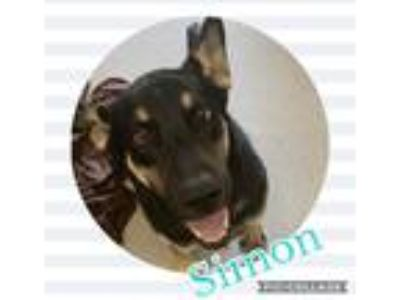 Adopt Simon a Black - with Tan, Yellow or Fawn Shepherd (Unknown Type) dog in
