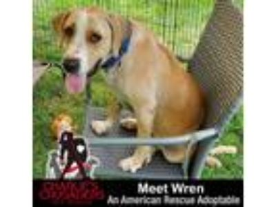Adopt Wren a White - with Tan, Yellow or Fawn Basset Hound / Labrador Retriever