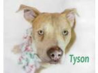 Adopt Tyson a Tan/Yellow/Fawn American Pit Bull Terrier / Mastiff / Mixed dog in