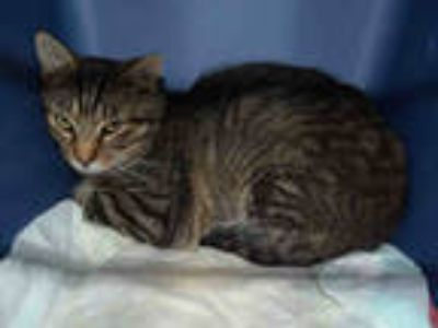 Adopt RUSS a Brown Tabby Domestic Shorthair / Mixed (short coat) cat in