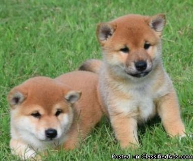 Shiba Inu Puppies Now Ready For Adoption
