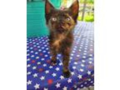 Adopt Kate McKitten a All Black Domestic Shorthair / Domestic Shorthair / Mixed