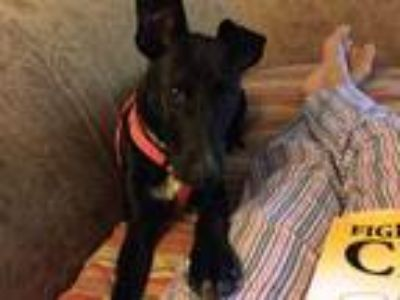 Adopt Chloe a Black - with White German Pinscher dog in East Stroudsburg