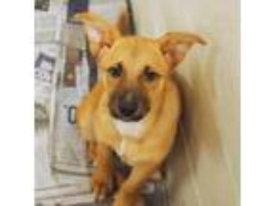 Adopt Aphrodite a Tan/Yellow/Fawn Shepherd (Unknown Type) dog in Atlanta