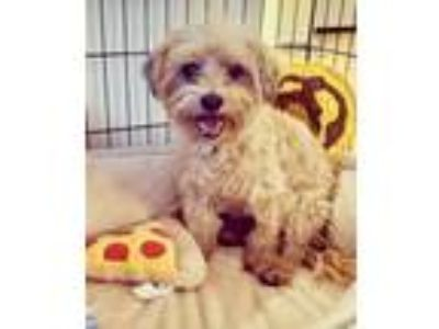 Adopt November a Yorkshire Terrier, Poodle