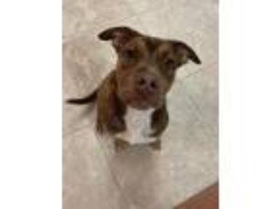 Adopt Champion a Pit Bull Terrier