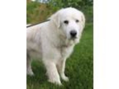 Adopt Angel a Great Pyrenees / Mixed dog in Quakertown, PA (25330188)