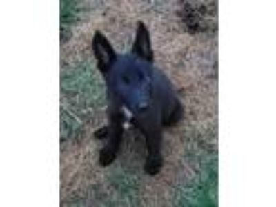 Adopt Safira a Black - with White German Shepherd Dog / Mixed dog in Mocksville