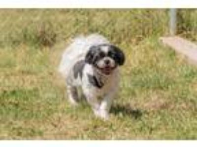 Adopt Chip / Dale (smaller) a Shih Tzu / Mixed dog in Newberg, OR (25598078)
