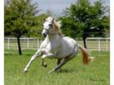 US Natl Champion Andalusian Stallion in TEXAS