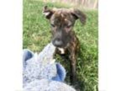 Adopt Rutt a Dutch Shepherd, German Shorthaired Pointer