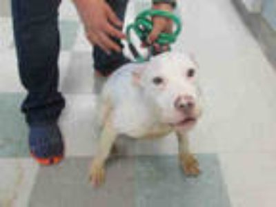 Adopt DUCKY a White American Pit Bull Terrier / Mixed dog in Oklahoma City