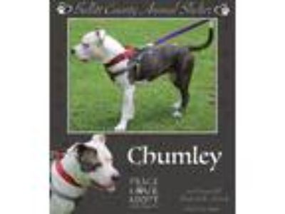 Adopt Chumley a Pit Bull Terrier