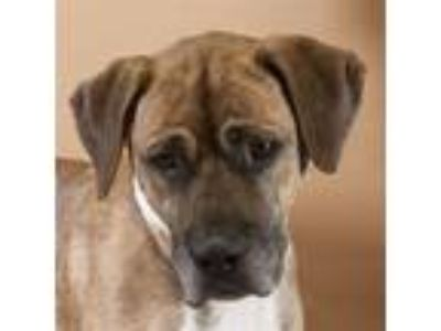 Adopt Oliver a Boxer / Mixed dog in Houston, TX (25650857)