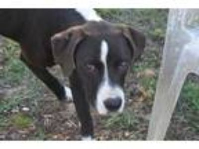 Adopt CYNDER a Black - with White Great Dane / Mixed dog in Panama City