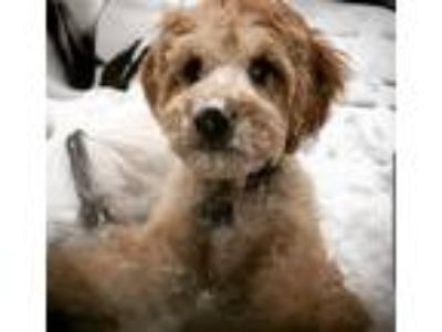 Adopt Jackson or jax a White - with Tan, Yellow or Fawn Cavalier King Charles