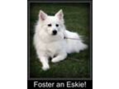Adopt FOSTER HOMES NEEDED a American Eskimo Dog