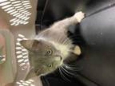 Adopt Patterson a Gray or Blue Domestic Shorthair / Domestic Shorthair / Mixed