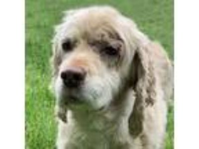 Adopt Sally a Cocker Spaniel