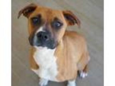 Adopt Jewels a Tan/Yellow/Fawn Boxer / Mixed dog in Bowling Green, KY (25266635)