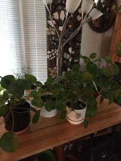 Pilea Plants no direct sun
