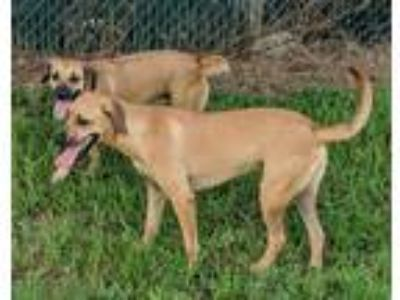Adopt Joanie a Tan/Yellow/Fawn - with Black Black Mouth Cur / Boxer / Mixed dog