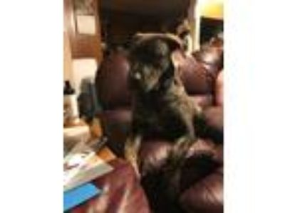 Adopt Ronald Puppy -Vacation Foster Needed 10/28-11/11 a Dutch Shepherd