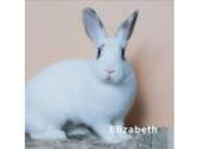 Adopt Elizabeth a White English Spot / Mixed (short coat) rabbit in Los Angeles