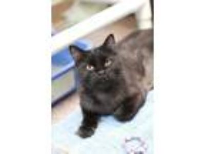 Adopt Ebony a All Black Domestic Longhair / Domestic Shorthair / Mixed cat in