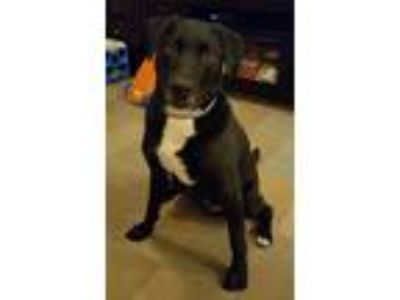 Adopt Howie a Black - with Gray or Silver Labrador Retriever / English (Redtick)