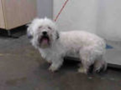 Adopt a White - with Black Lhasa Apso / Poodle (Miniature) / Mixed dog in