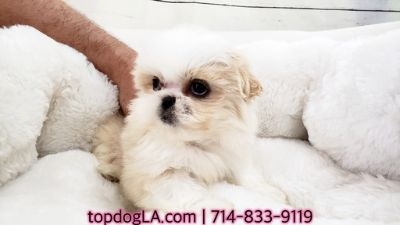 Shih Tzu PUPPY FOR SALE ADN-71433 - Shihtzu Female Daisy