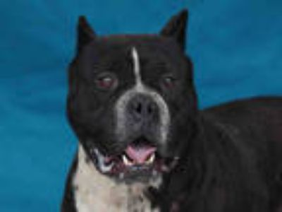 Adopt JACK a Black - with White American Pit Bull Terrier / Mixed dog in Downey