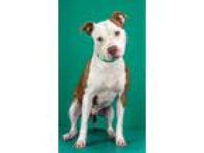 Adopt Coconut a Pit Bull Terrier, Boxer