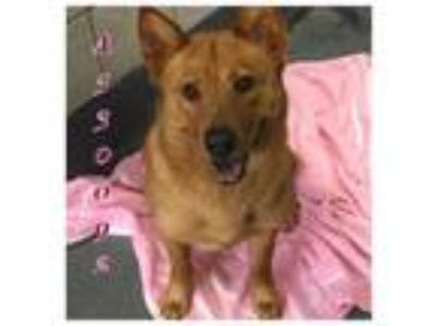 Adopt a Red/Golden/Orange/Chestnut Chow Chow / Mixed dog in San Antonio