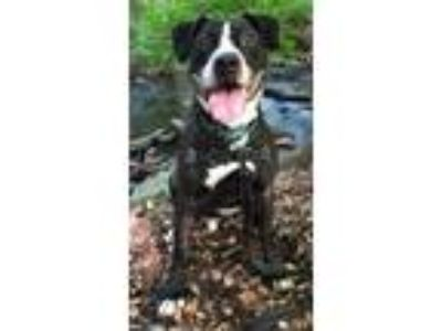 Adopt Jordan - Foster me for the Holidays! a American Staffordshire Terrier