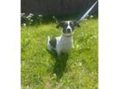 Adopt Daisy a White - with Black Dachshund / Rat Terrier / Mixed dog in Baton